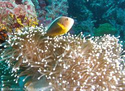BD-070404-Similan--Amphiprion-sandaracinos.-Allen.-1972-[Yellow-clownfish].jpg